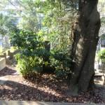 青山霊園のお墓のリフォーム/植木伐採と墓地清掃